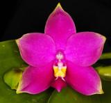 20142645  -  Phalaenopsis Samera AM/AOS  (81-points)  10-11-2014 (Orchids by Hausermann)