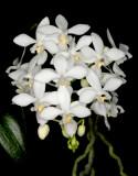 20142646  -  Phalaenopsis equestris var alba 'Frosty Morn' HCC/AOS (77-ponts)  10-11-2014 (JulieJ Hall) Close-up