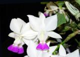 20142637   -   Cattleya  walkeriansa var. semi-alba 'Michael'  HCC/AOS (79-points)  12-13-2014  (Bill Rogerson)