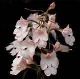 20142620  -  Habaneria  carnea  'Shilo'  CCM AOS (86-points)  9-13-2014  (Joel Edwards)  Close-up 2