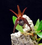 20152542  -  Dendrobium amplum  'Red Devil'  HCC/AOS (76-points) 1-10-2015  (Chuck & Jane High)