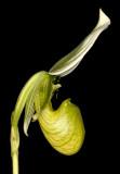 20152578  -  Paphiopedilum Hilo Green Mountain 'Eva Manuel' AM/AOS   (84-points)  3-14-2015  (Orchid Inn) _2