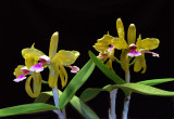 20152586   -  Cattleya   granulosa  'Kathleen'  AM/AOS (86-points)  6-13-2015  (William Rogerson). plant
