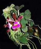20152592  -  Cattleya schilleriana 'Aphri' AM/AOS (85-points)  7-11-2015  (Bill Rogerson)