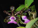 20152604  - Cattleya aclandiae var. coerulea 'Deep Violet Blue'  HCC/AOS  (79-points)  9-12-2015  (William Rogerson)