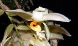 20152607  -  Stanhopea gibbosa 'Kathleen'  AM/AOS (86-points)  9-12-2015  (William Rogerson)