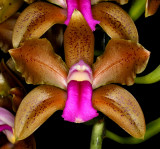 20152617  -  Cattleya bicolor 'Kathleen' AM?AOS  (80-points)  10-10-2015  (William Rogerson) Close-up