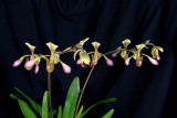 20162609  -   Paph. Toni Semple  'Evan's Discovery'  AM/AOS  (80points)  1-30-2016  (Katherine Weitz)