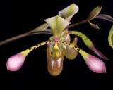 20162609  -  Paph. Toni Semple  'Evan's Discovery'  AM/AOS  (80points)  1-30-2017  (Katherine Weitz)