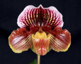 20162611  -   Paph. Oto 'Deerwood'  AM/AOS  (83-points)  1-30-2016  (Ross  Hella)