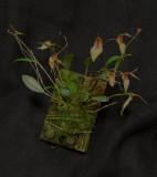 20162568  -  Lepanthes  helgae  'Darryl's Joy'  AM/AOS  (80-points)   3-7-2016  (Chris Miller) plant
