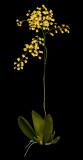 20162586  -  Trichocentrum cavendishianum 'Judy Hirsch'  CCE/AOS  (92-points)  3-12-2016  (Joe & Rosalie Dixler)  Plant