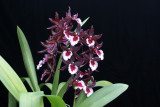 20162576  -  Ons. Midnight Miracles  'Cheri'  AM/AOS (82-points)  3-19-2016  (Dave Wujek) Plant