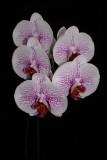 20162579  -  Phal. Gan Lin Fairy  'New Orchids'  HCC/AOS  (79-points)  3-19-2016  (Deno Kandis)