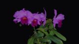 20162594  -  C. Irene Finney  'Dark Beauty'  AM/AOS (81-points)   4-9-2016   (Steve & Kim Livingston)  plant