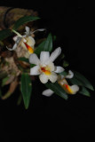 20162584  -  Dend. fuerstenbergianum   'Memoria Louis'  CHM/AOS  (82-points)  6-11-2016  (Larry Sexton) Flower