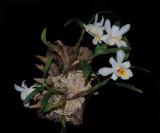20162584  -   Dend. fuerstenbergianum   'Memoria Louis'    CHM/AOS  (82 - points)  6-11-2016  (Larry Sexton) plant