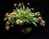 20162593  -   Masdevallia erinacea  'Crawford'  CCM/AOS  (Points-87)  9-17-2016  (John Stuckert)   Plant