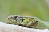 Amfibieën en Reptielen/Amphibians and Reptiles