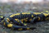 DSC09972F vuursalamander (Salamandra salamandra, Fire Salamander).jpg