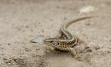 DSC01900F zandhagedis (Lacerta agilis, Sand lizard) .jpg