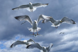 DSC01594F zilvermeeuw (Larus argentatus, Herring gull).jpg