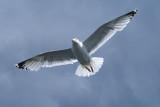 DSC01615F zilvermeeuw (Larus argentatus, Herring gull).jpg