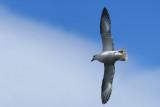 DSC02075F noordse stormvogel(Fulmarus glacialis, Northernfulmar).jpg