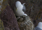DSC02214F drieteenmeeuw (Rissa tridactyla, Black-legged kittiwake).jpg