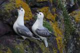 DSC02283F noordse stormvogel (Fulmarus glacialis, Northern fulmar).jpg