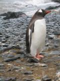 IMG_0176F ezelspinguin (Pygoscelis papua, Gentoo Penguin).jpg