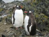 IMG_0211F ezelspinguin (Pygoscelis papua, Gentoo Penguin).jpg