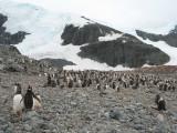 IMG_0308F ezelspinguin (Pygoscelis papua, Gentoo Penguin).jpg