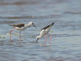 Steltkluut (Himantopus himantopus, Black-winged Stilt)