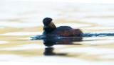 D40_7047H geoorde fuut (Podiceps nigricollis, Black-necked Grebe).jpg
