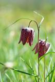 D40_6918F kievitsbloem (Fritillaria meleagris, Fritillary).jpg