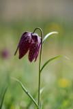 D40_6878F kievitsbloem (Fritillaria meleagris, Fritillary).jpg