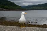 D4_8911F kleine mantelmeeuw (Larus fuscus, Lesser Black-backed Gull).jpg