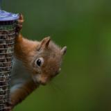 D4_9079F eekhoorn (Red Squirrel).jpg