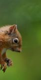 D4_9103F eekhoorn (Red Squirrel).jpg