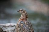 D4_9230F fazant (Phasianus colchicus, Common Pheasant).jpg