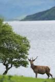 D4_9504F edelhert (red deer).jpg