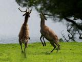 D4_9433H edelhert (Red deer).jpg