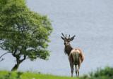 D4_9390F edelhert (red deer).jpg