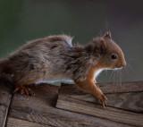 D4_9251F eekhoorn (Red Squirrel).jpg