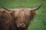 D4_9704F Schotse hooglander (Highland cow).jpg