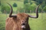 D4_9747F Schotse hooglander (Highland cow).jpg