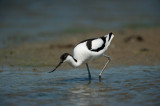 700_6379F kluut (Recurvirostra avosetta, Pied Avocet).jpg