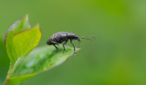 D4_7559F snuitkever (Curculionidae indet.).jpg