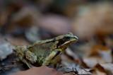 D4_0233F bruine kikker (Rana temporaria, Common Frog).jpg